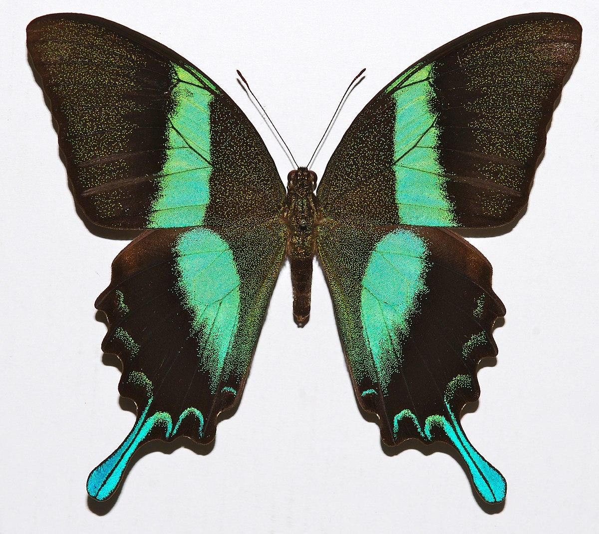 Papilio Blumei Wikip 233 Dia A Enciclop 233 Dia Livre