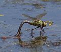 Emperor Dragonfly 2 (4721710390).jpg