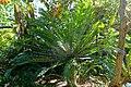 Encephalartos altensteinii - Marie Selby Botanical Gardens - Sarasota, Florida - DSC01146.jpg