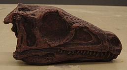Eoraptor - rekonstruovaná lebka