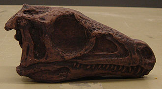 Eoraptor - Skull cast