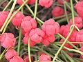 Ephedra distachya (cones) 2011 2.jpg