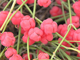 Ephedra (plant) - Ephedra distachya: ripe female cones with seeds
