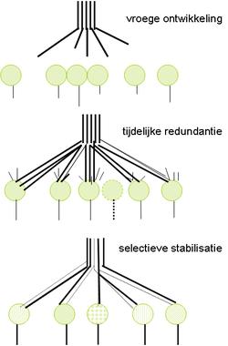 Neurale Plasticiteit Wikipedia