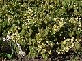 Epimedium macranthum a2.jpg