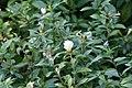 Eranthemum nigrum 12zz.jpg