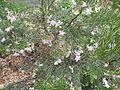 Eremophila abietina (habit).JPG