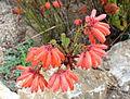 Erica cerinthoides - UC Santa Cruz Arboretum - DSC07299.JPG
