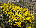 Ericameria linearifolia 14.jpg