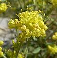 Eriogonum umbellatum var subaridum 7.jpg
