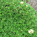 Eriogonum ursinum 4.jpg