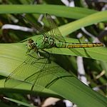 Erythemis collocata-Female-10.jpg