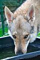Eska der Tschechoslowakische Wolfhund beim Wasser trinken.jpg