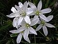 Estrella de Belen - Ornithogalum sp. (14057027146).jpg