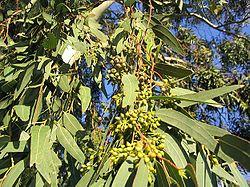 Eucalyptus wikip dia - Detruire souche arbre rapidement ...