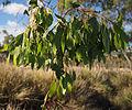 Eucalyptus brownii foliage.jpg