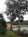 Eucalyptus globulus globulus.jpg