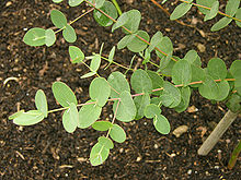 Eucalyptus gunnii - Wikipedia, the free encyclopedia