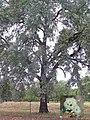 Eucalyptus melanophloia - Silverleaf Ironbark.jpg