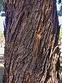 Eucalyptus microcorys - trunk bark.jpg