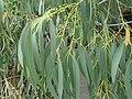 Eucalyptus perrinana 04.jpg