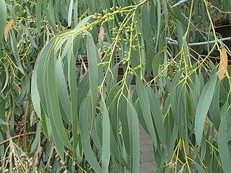 Eucalyptus perriniana - Image: Eucalyptus perrinana 04