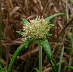 Euchiton sphaericus.jpg