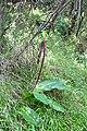 Eucomis bicolor (Hyacinthaceae) (5112109944).jpg