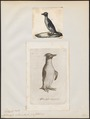 Eudyptes catarractes - 1700-1880 - Print - Iconographia Zoologica - Special Collections University of Amsterdam - UBA01 IZ17800221.tif