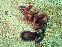 Eupetrichthys angustipes.jpg