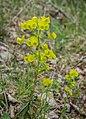 Euphorbia amygdaloides in Aveyron (9).jpg