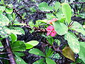 Euphorbia milii4.jpg