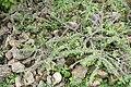 Euphorbia milii 30zz.jpg