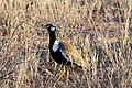 Eupodotis afraoides -Kalahari Desert, South Africa-8.jpg