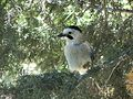 Eurasian Jay in the Sataf3.jpg