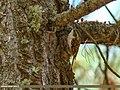 Eurasian Treecreeper (Certhia familiaris) (38741827515).jpg