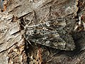 Eurois occulta - Great brocade - Земляная совка большая серая (39279830880).jpg