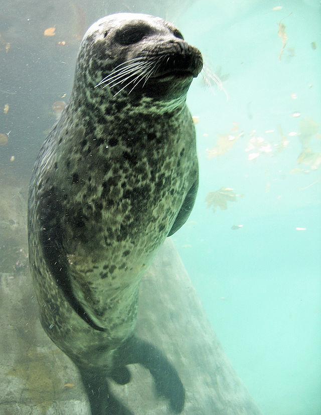 Le phoque appelé commun  dans PHOQUE et OTARIE 640px-Europ%C3%A4ischer_Seehund