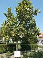 Europe tree. - Szabadság Sq., Cegléd.JPG