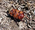 European Rhinoceros Beetle. Oryctes nasicornis. Scarabaeidae - Flickr - gailhampshire (1).jpg