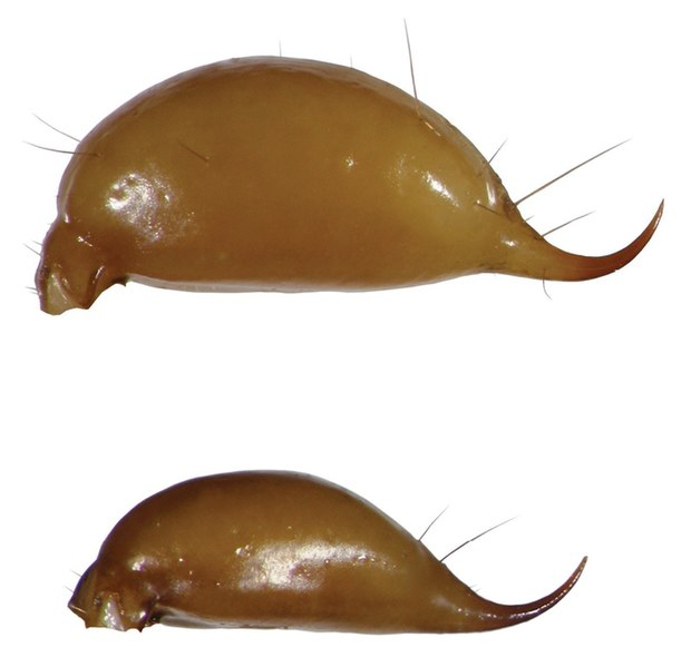 File:Euscorpius avcii, male (upper) and female telson.jpg