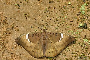 Euthalia aconthea-Kadavoor-2016-06-25-003.jpg