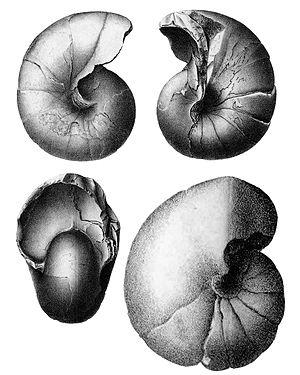 Eutrephoceras - Eutrephoceras dorbignyanum