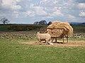 Ewe and lambs by feeding rick - geograph.org.uk - 1274992.jpg