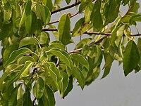 Excoecaria agallocha (Blind Your Eye) W2 IMG 6930