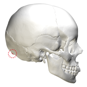 External occipital protuberance - Human skull lateral view. External occipital protuberance shown in red.