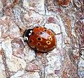 Eyed Ladybird (40879123425).jpg