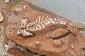 Fóssil de titanossauro 04.jpg