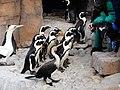 Fütterung von Kaptölpeln und Afrikanischen Pinguinen, SANCCOB, Port Elizabeth.jpg