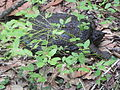 FL - Common Snapping Turtle (6298289647).jpg